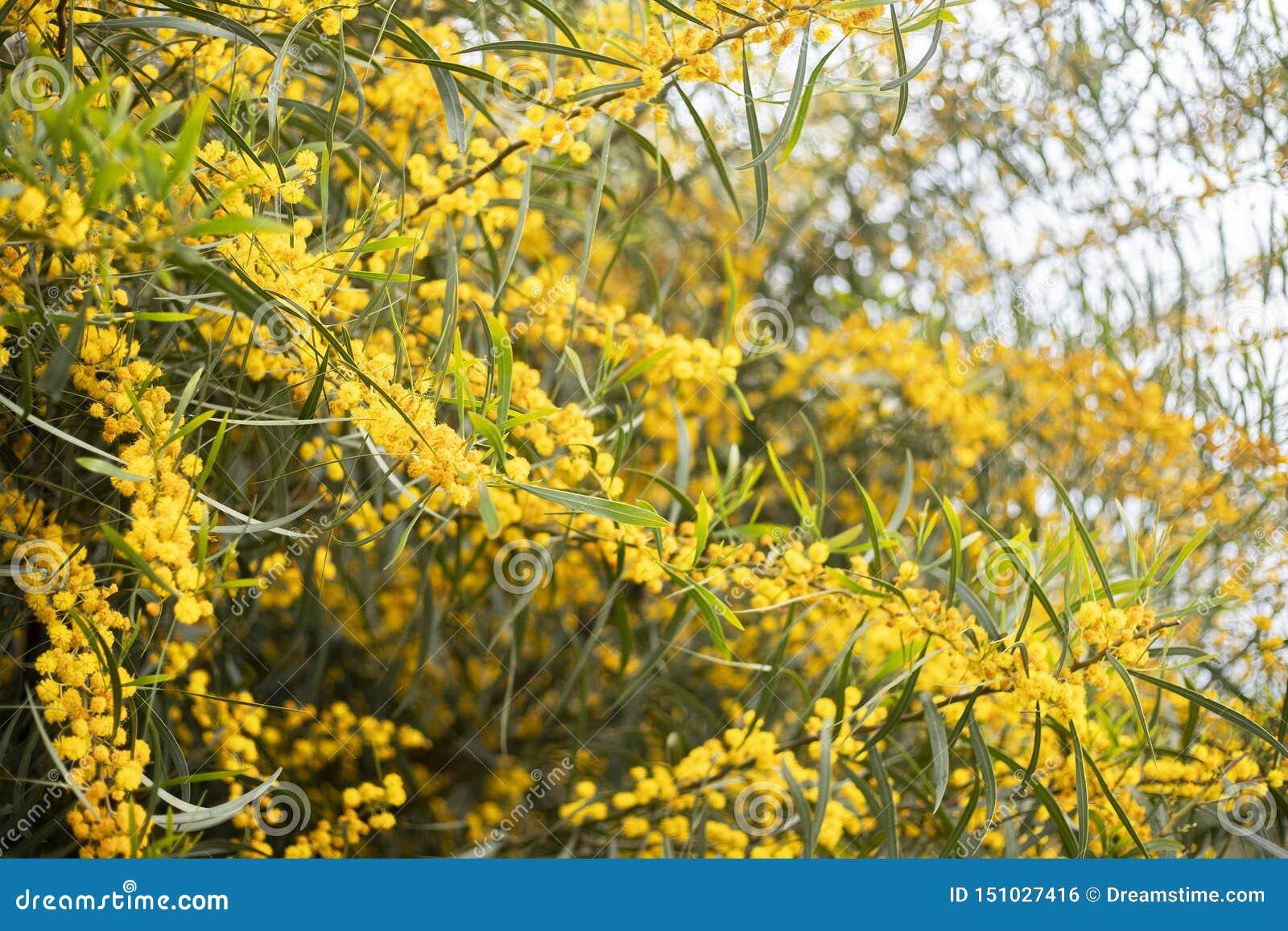 含羞草树黄色金合欢花分支背景