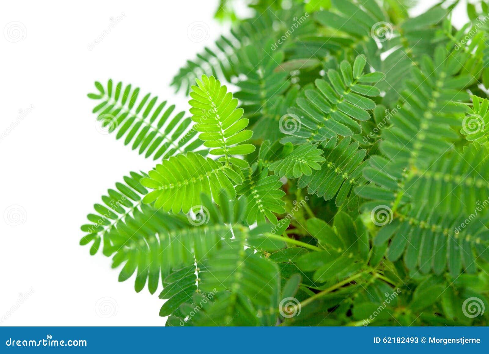 含羞草pudica绿色嫩叶子在白色背景的.图片