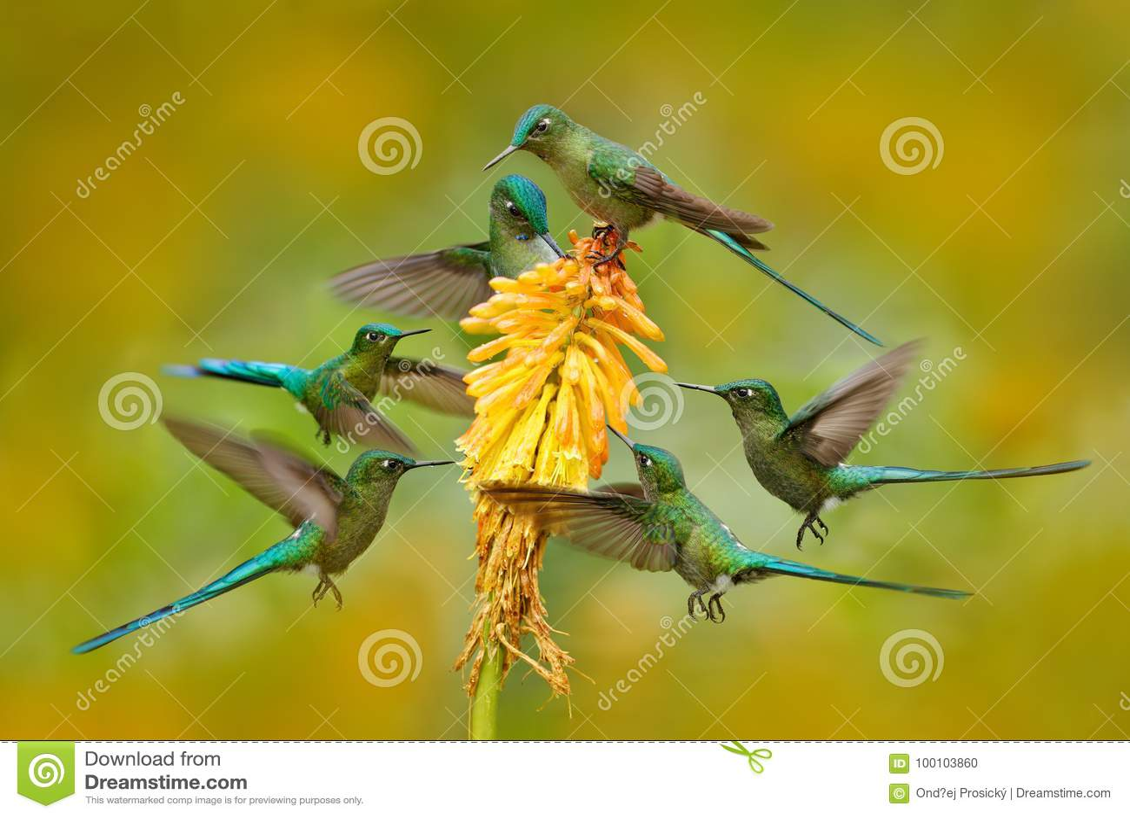 吮花蜜的鸟群从黄色花 吃从美好的黄色绽放的蜂鸟长尾的空气的精灵花蜜在Ecuado