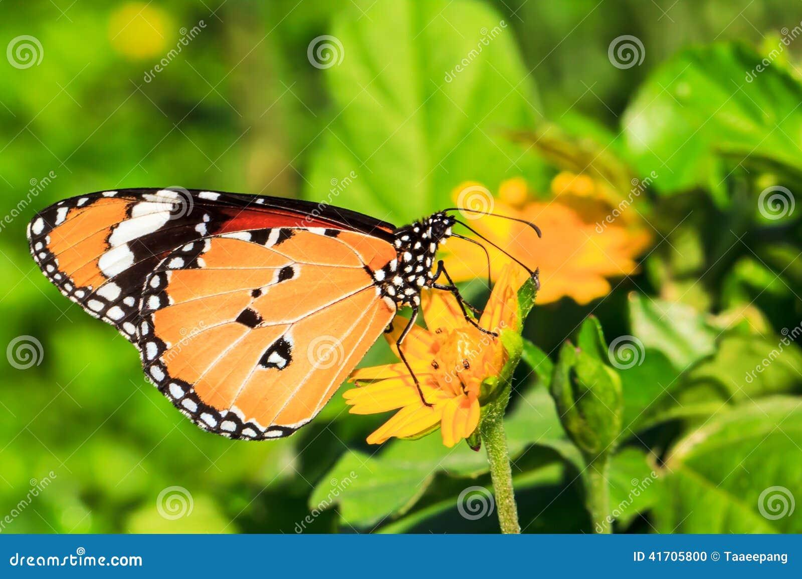 吮花蜜的蝴蝶从花自然地关闭.