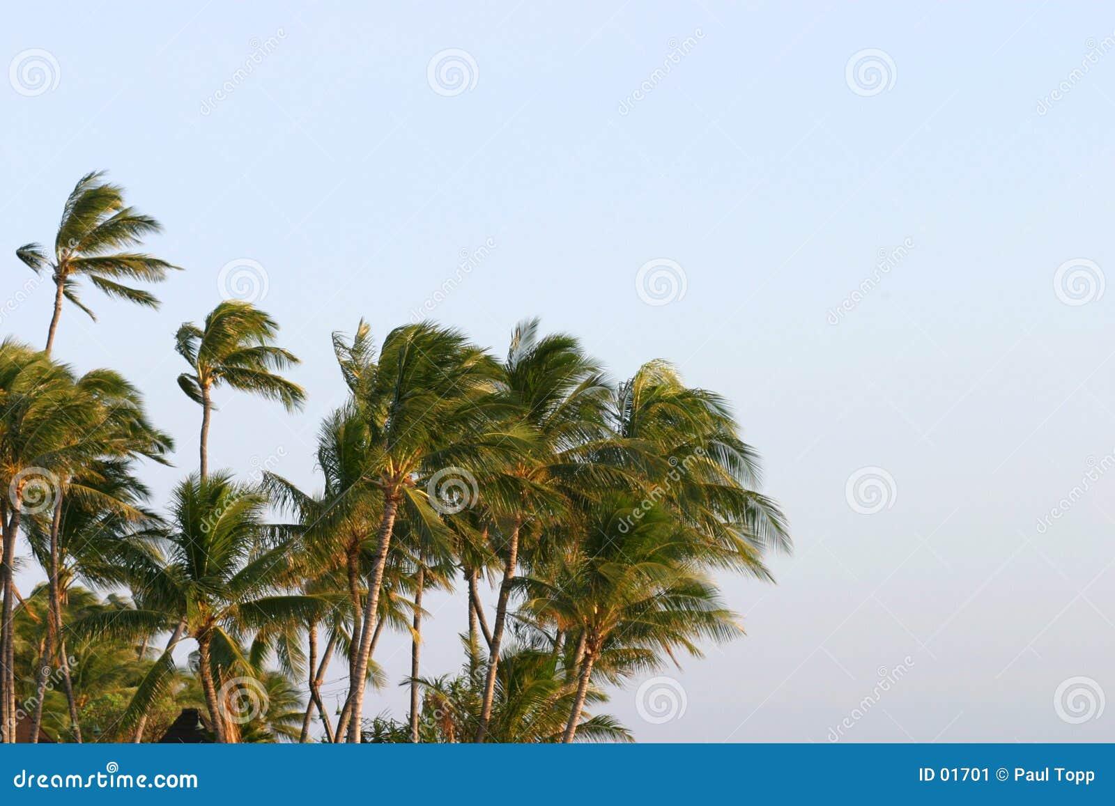 吹的棕榈树风