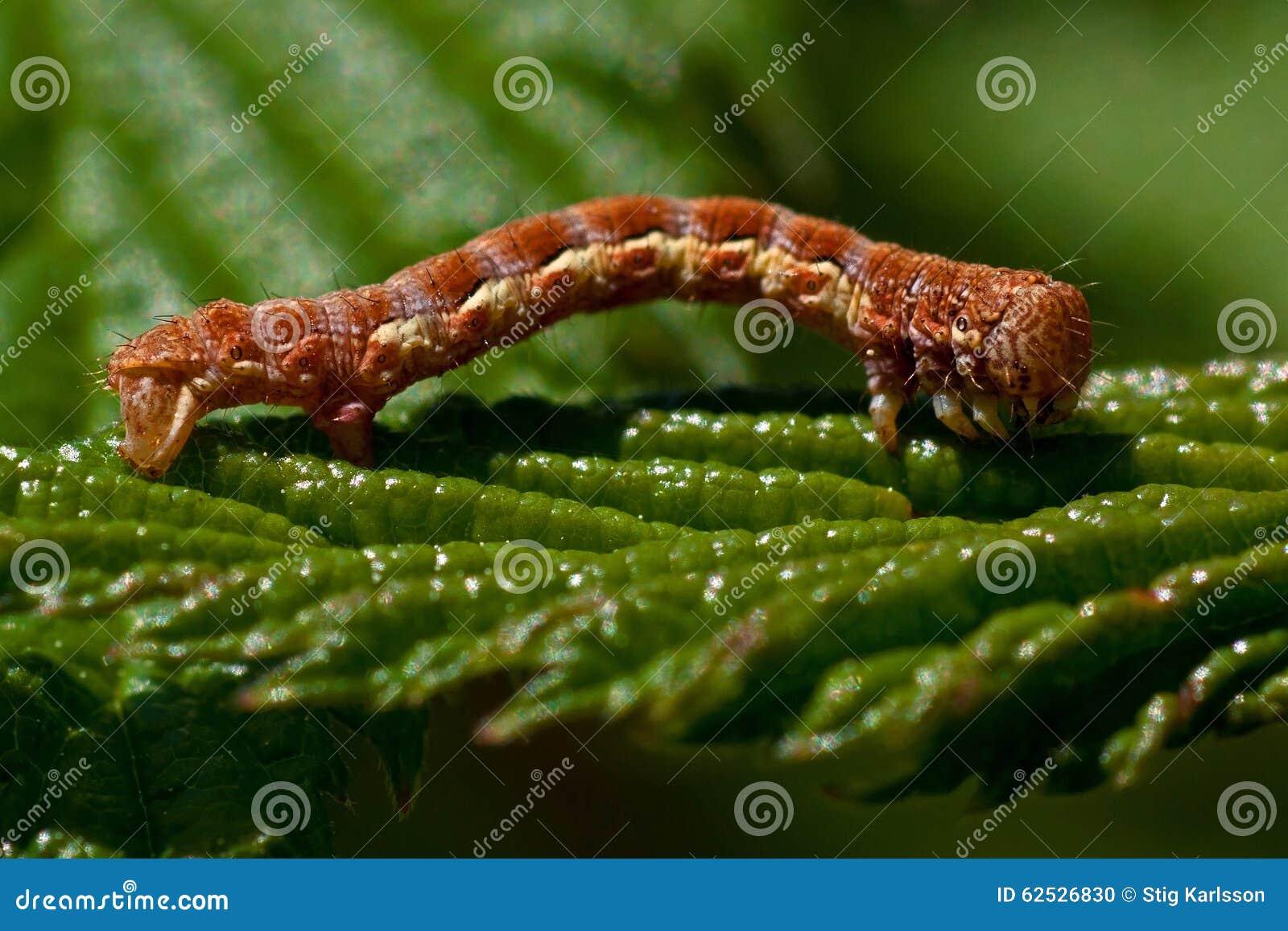 呈杂色的棕色,在宏指令的Erannis defoliaria