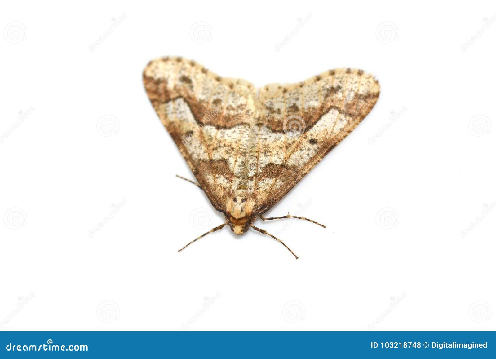 呈杂色的焦茶色的飞蛾