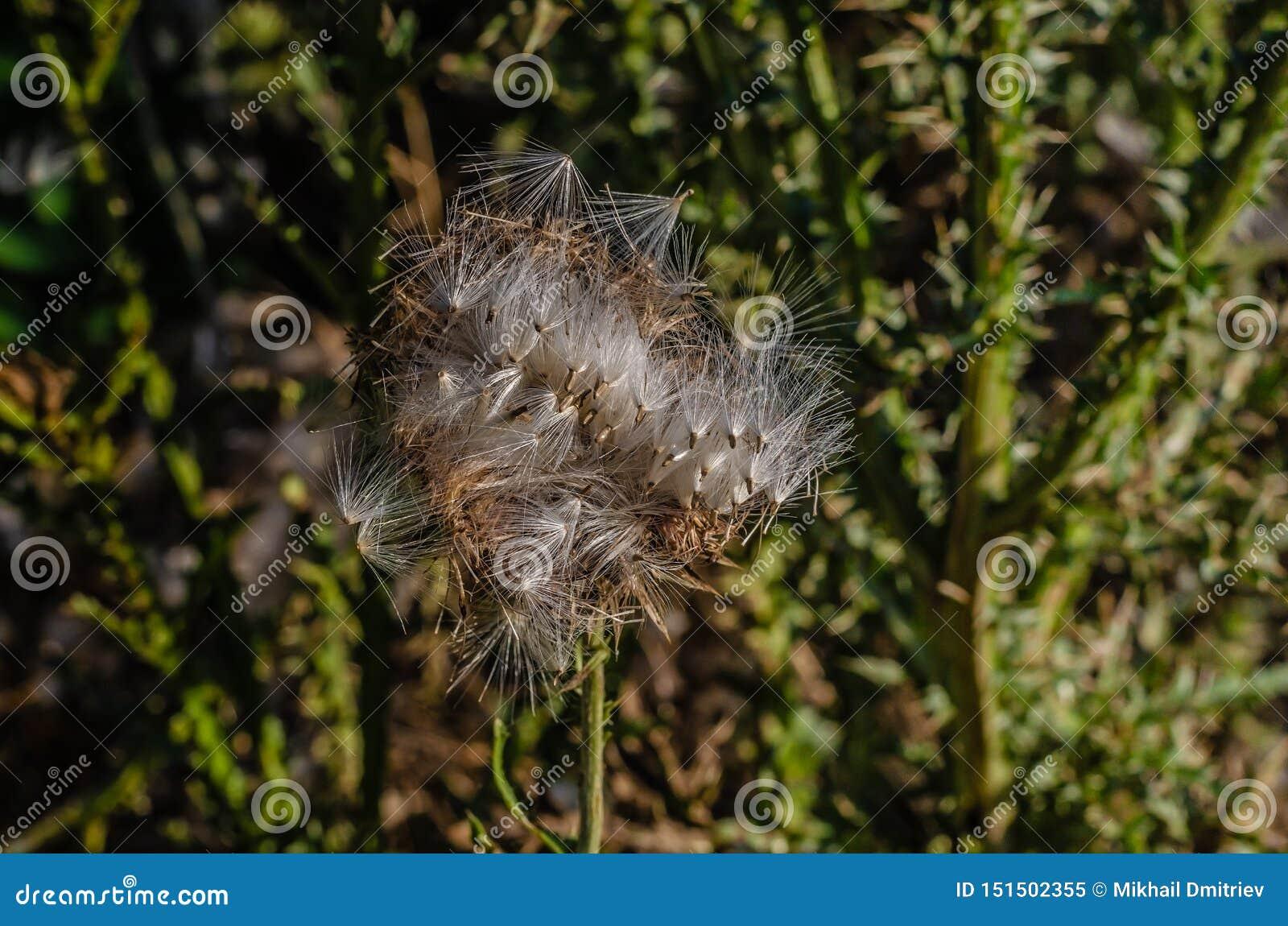 告密者伞直线叶香草将飞行与风暴 明亮的太阳光芒照亮植物的种子 Mac