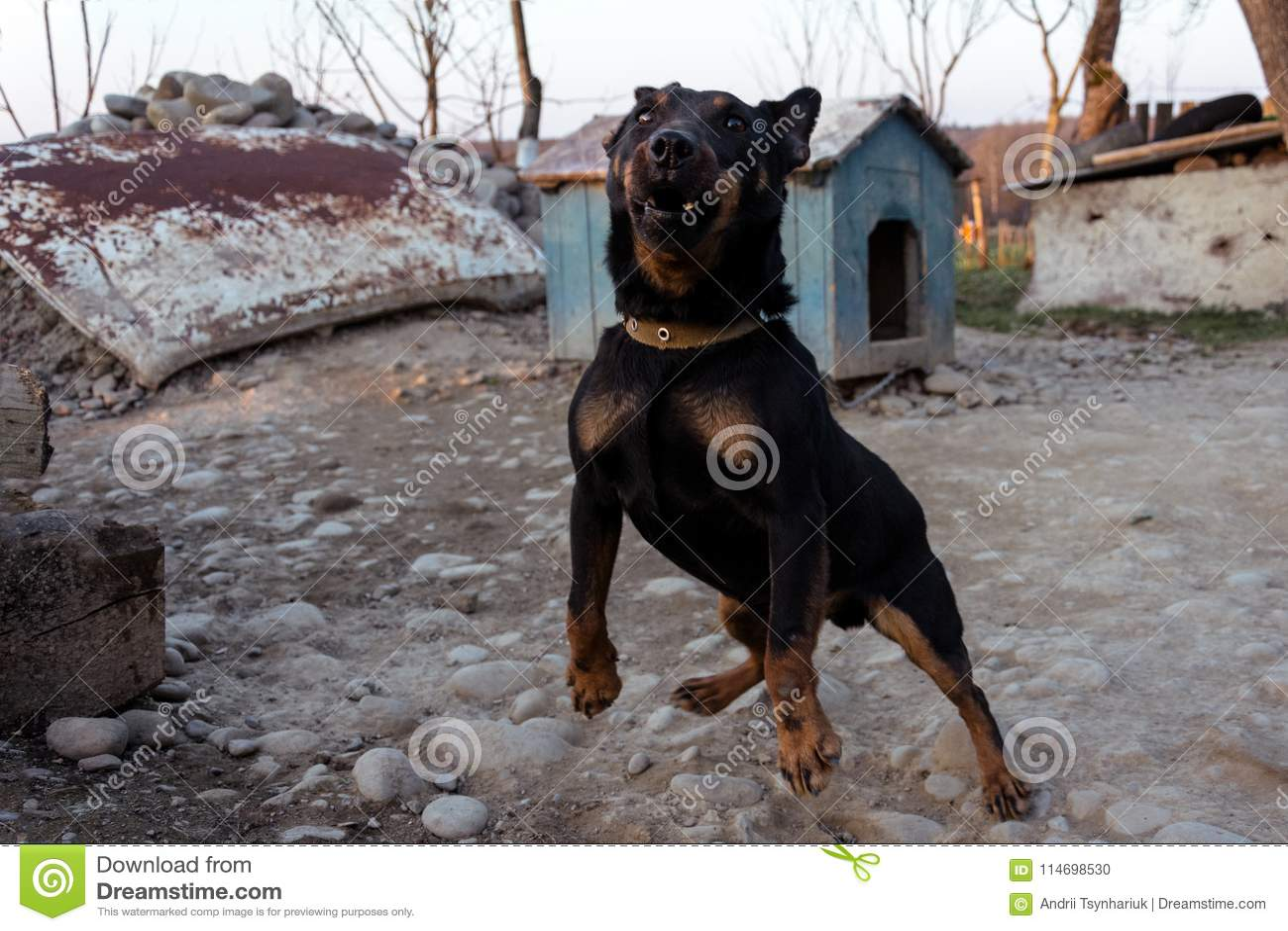 咆哮在链子的黑短毛猎犬显示牙和他的愤怒