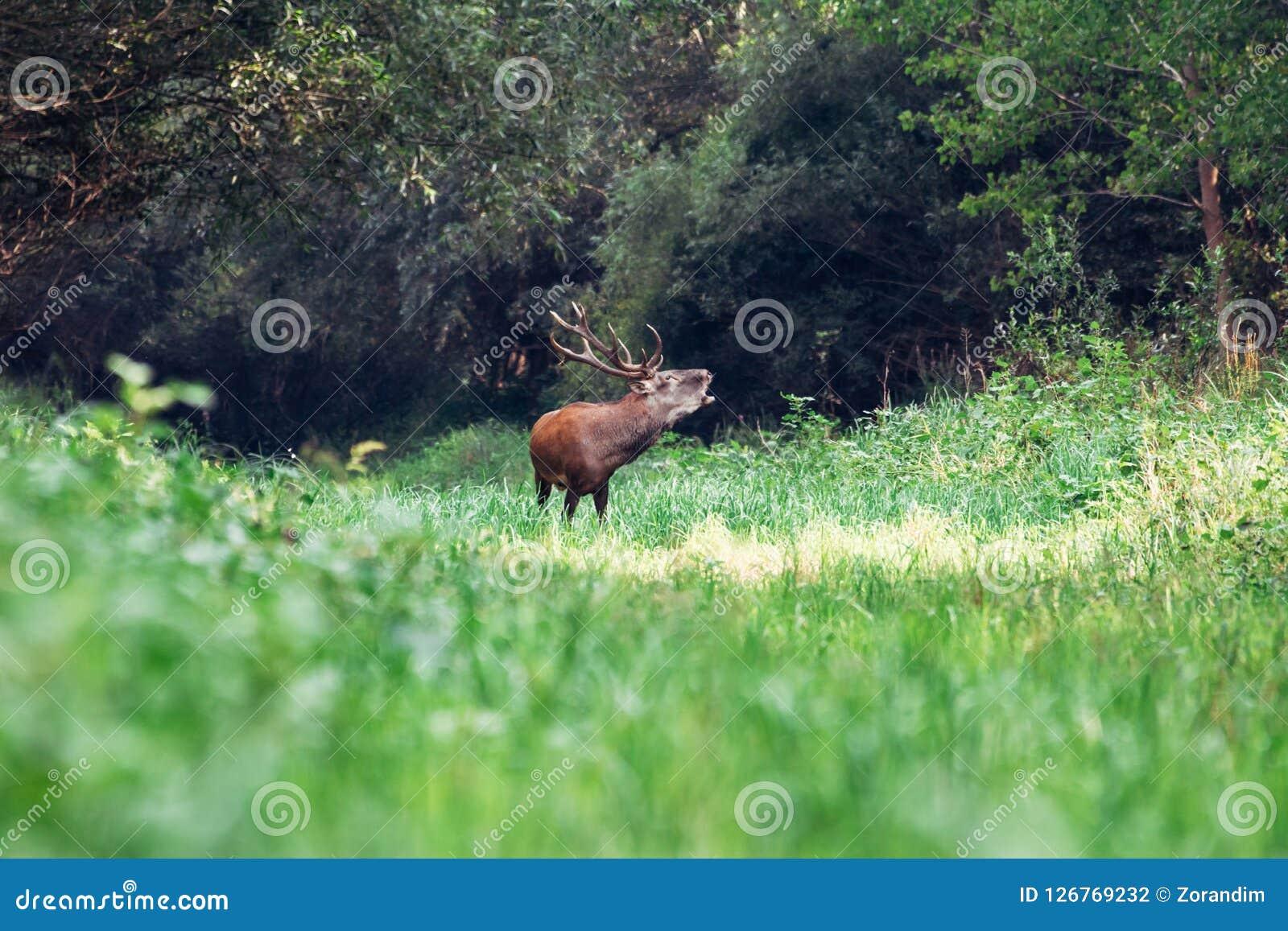 咆哮庄严强有力的成人马鹿雄鹿在绿色森林里