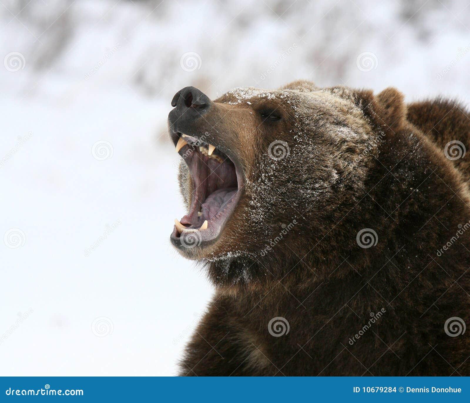 咆哮熊的北美灰熊
