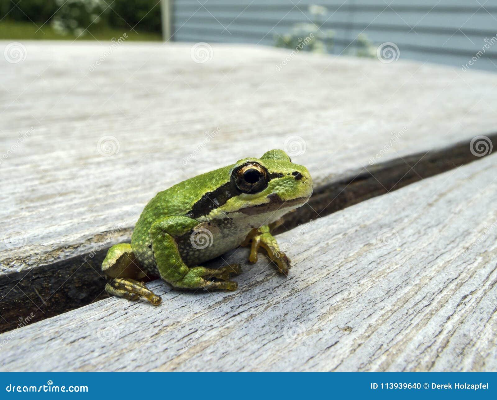 和平的雨蛙Pseudacris regilla
