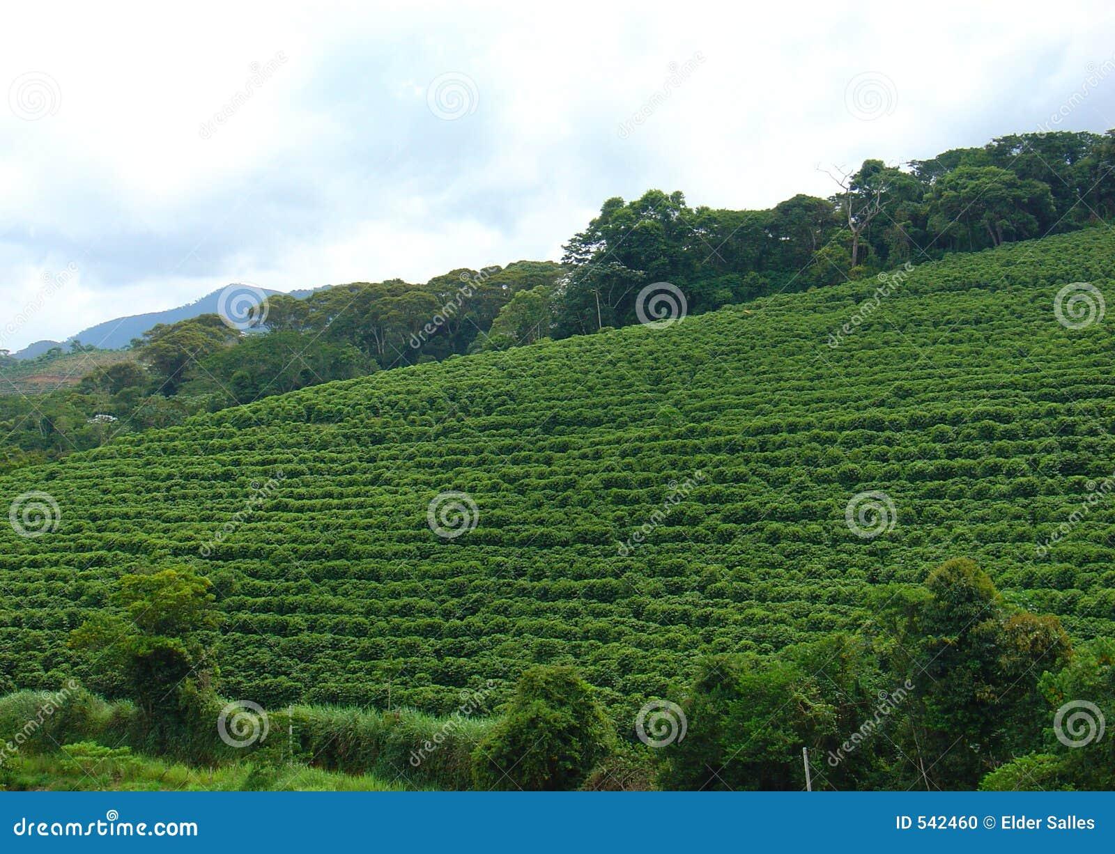 Download 咖啡种植园 库存照片. 图片 包括有 问题的, 云彩, 种田, 农田, 收获, 种植, 商品, 打赌的人, 前面 - 542460