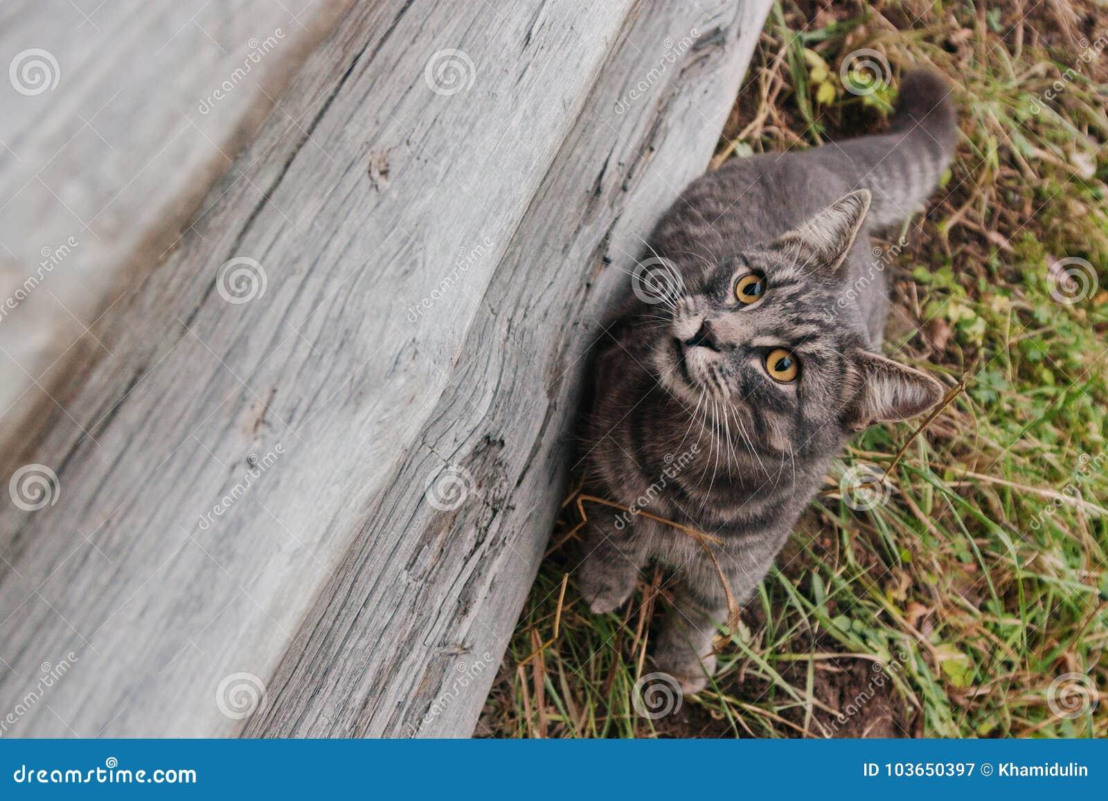 哀伤的家养的母猫坐一个非常老木屋的zavalinka在俄国村庄