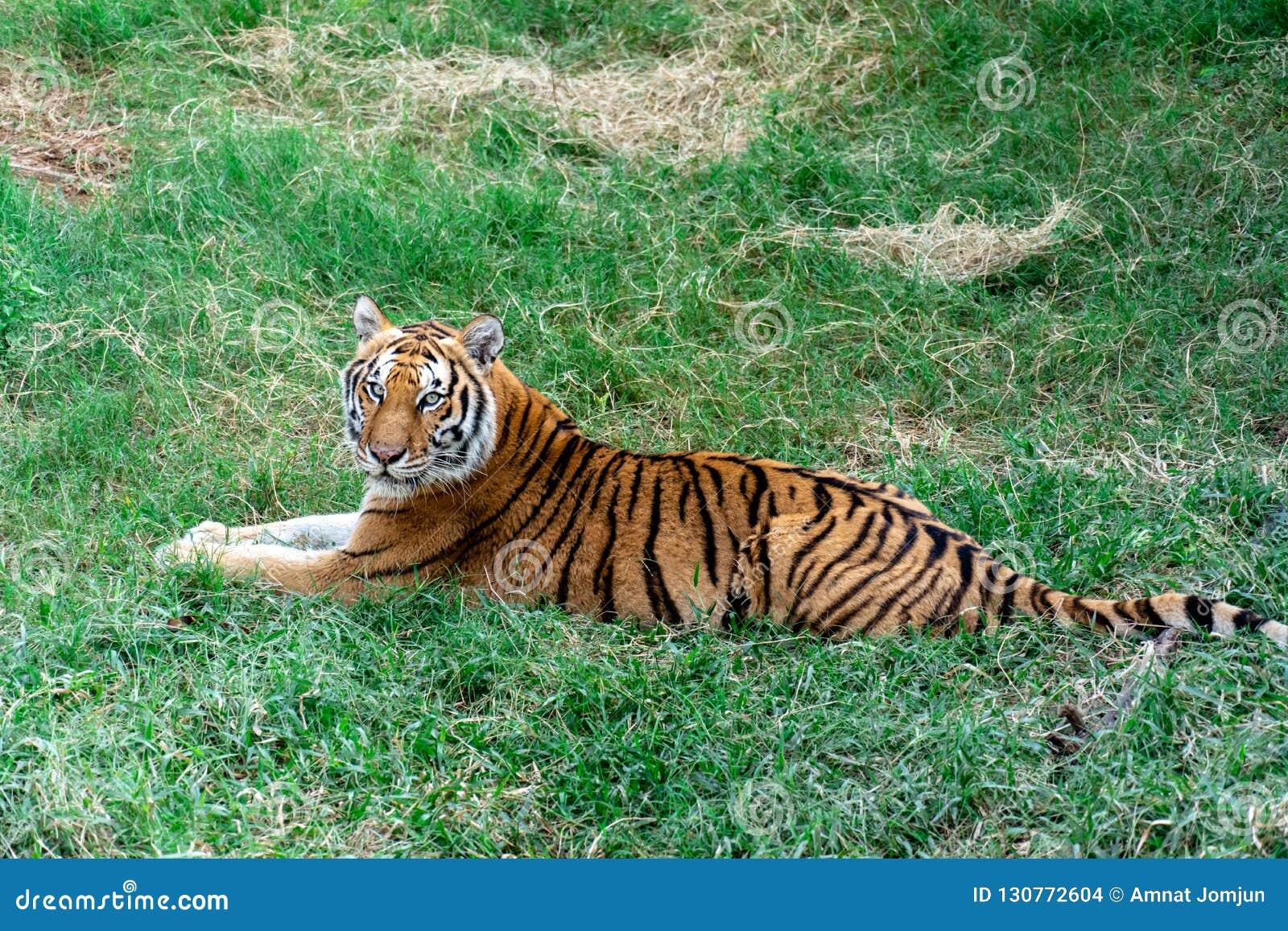 哀伤的虎犊在草说谎