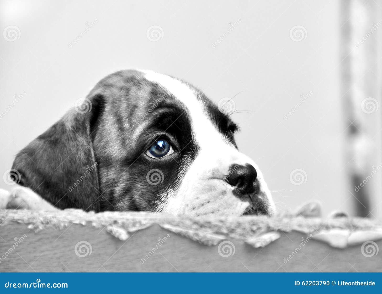 哀伤的面孔注视希望小的拳击手的小狗为新的永远家被选择