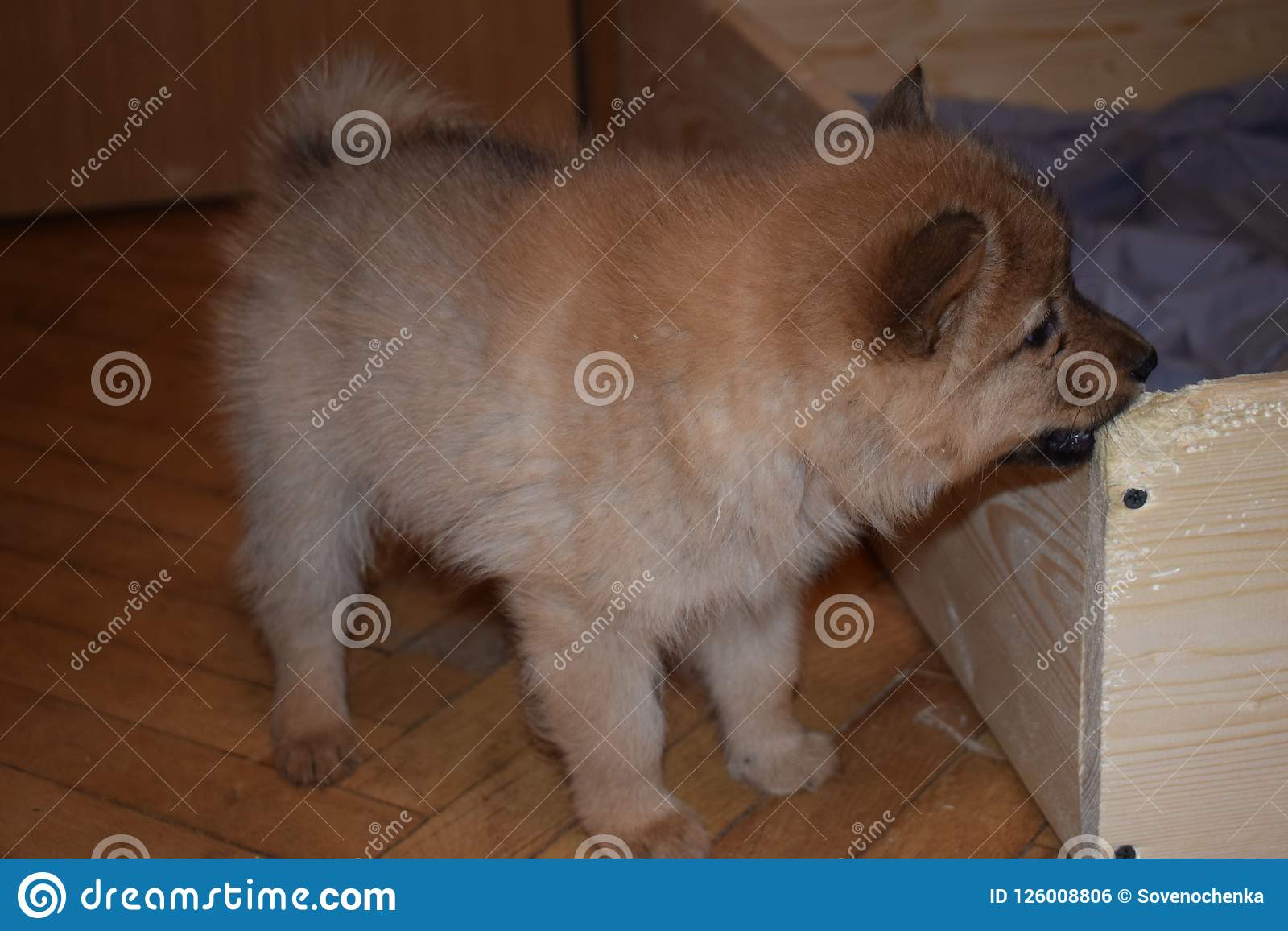 品种可爱的红色小狗芬兰波美丝毛狗