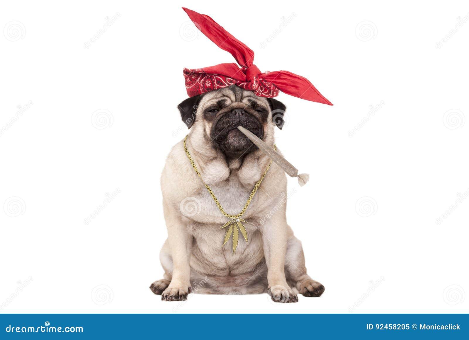 哈巴狗是的小狗高在抽烟的大麻杂草联接,隔绝在白色背景