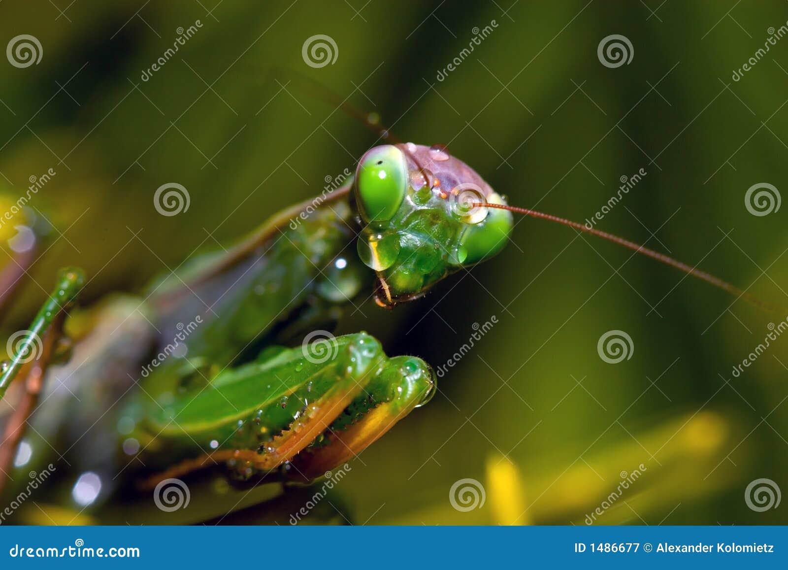 哭泣的螳螂