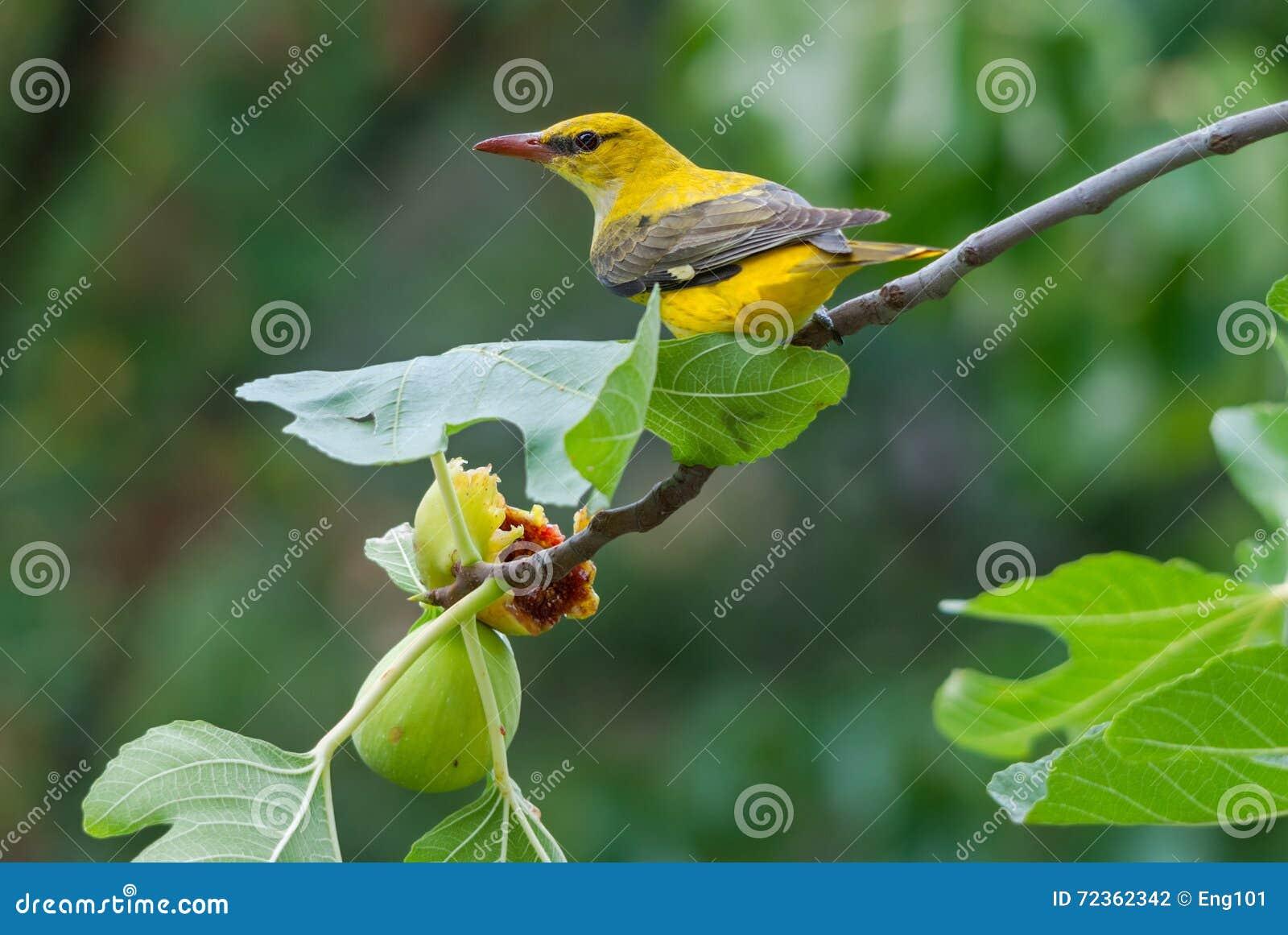 哺养在无花果果子的母金黄金莺类