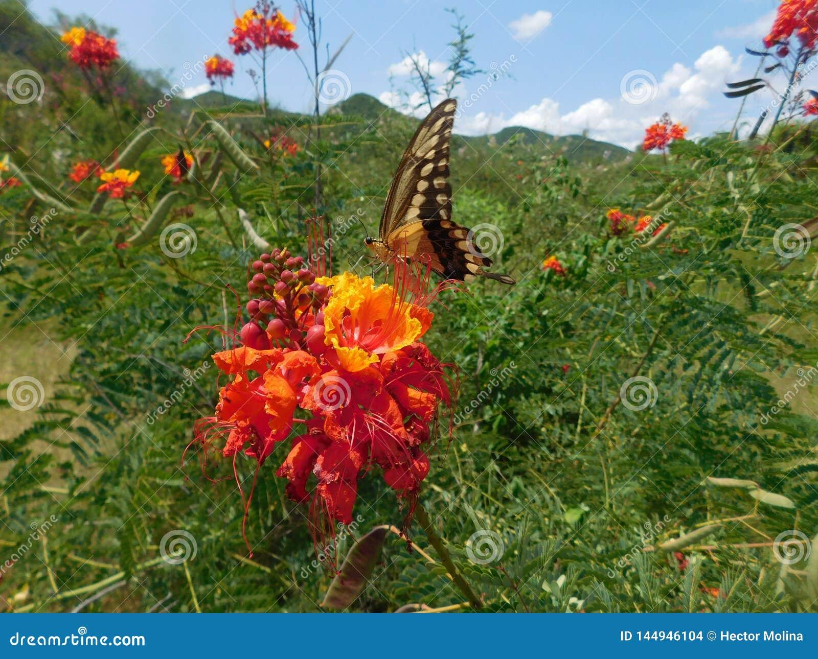 哺养在红色花papilio cresphontes的巨型Swallowtail蝴蝶