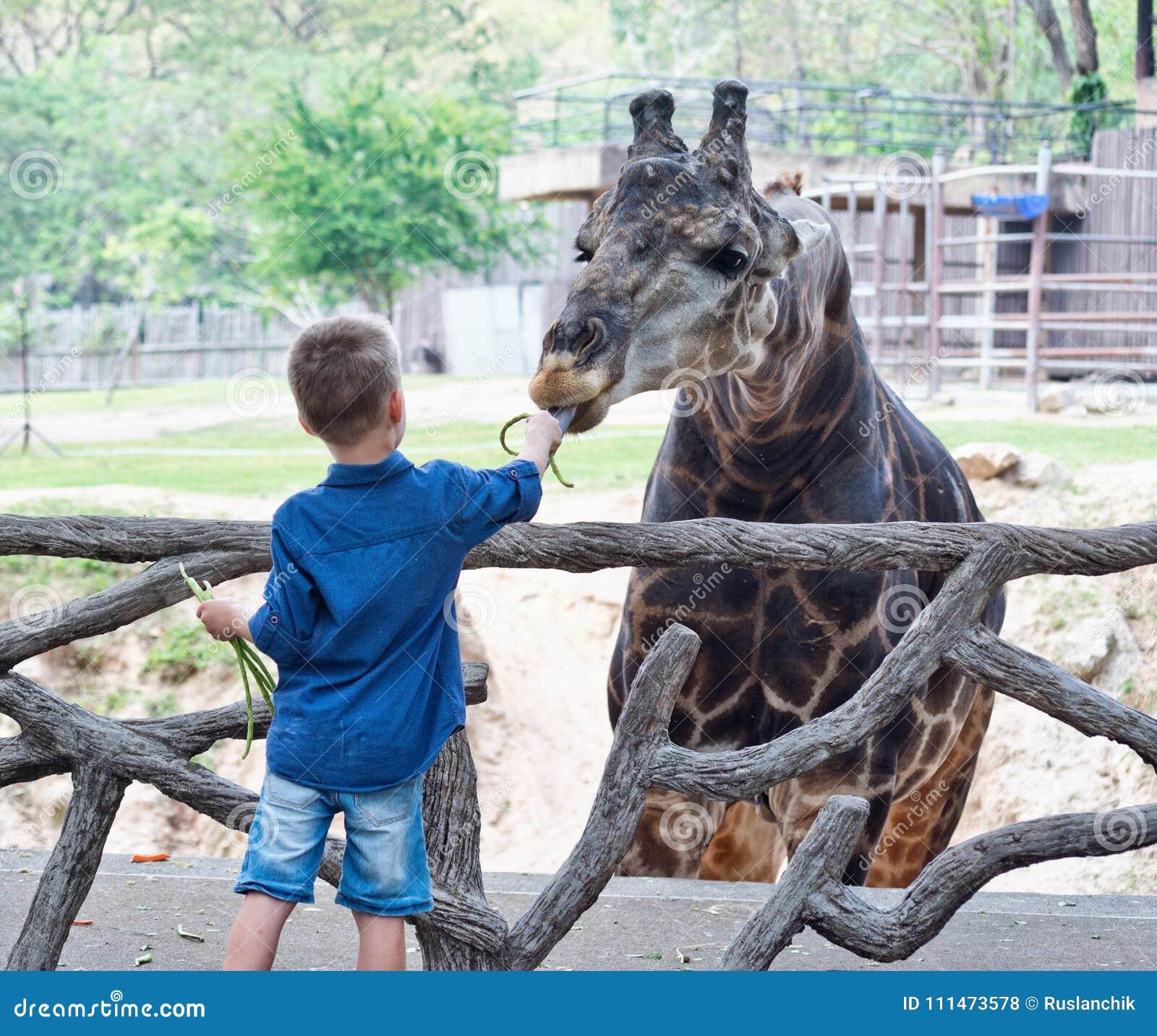 哺养的长颈鹿在动物园里