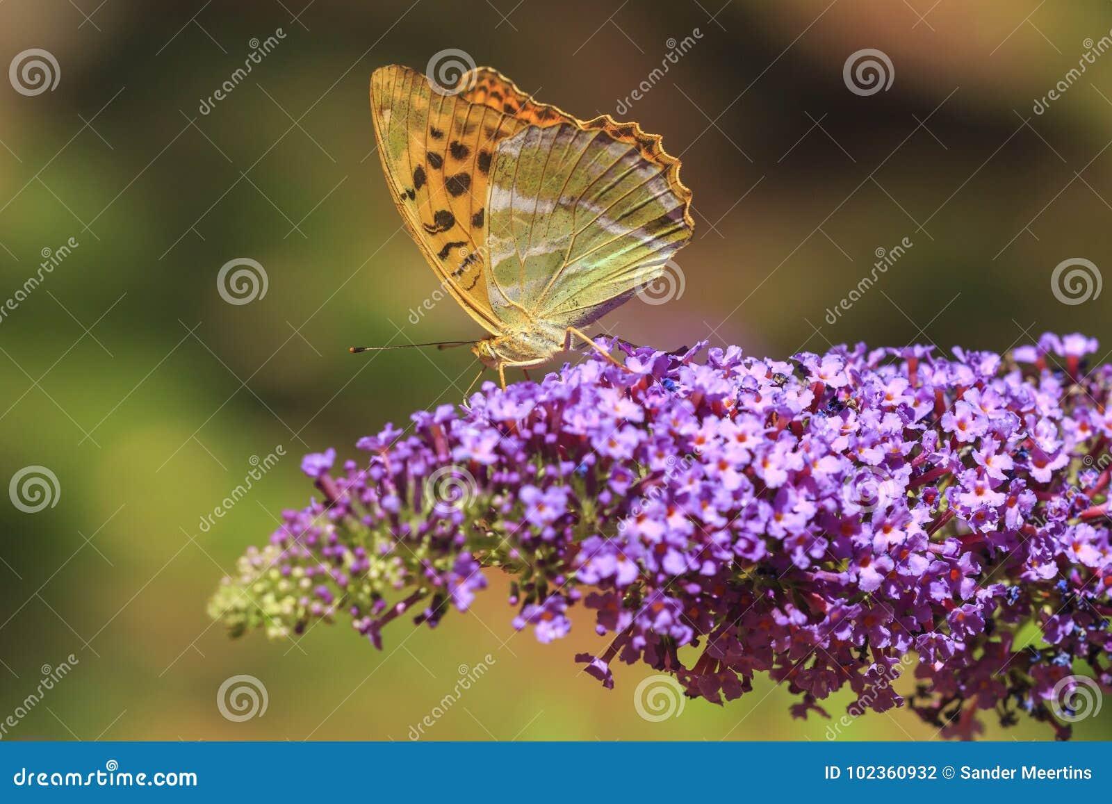 哺养银被洗涤的贝母Argynnis paphia的蝴蝶
