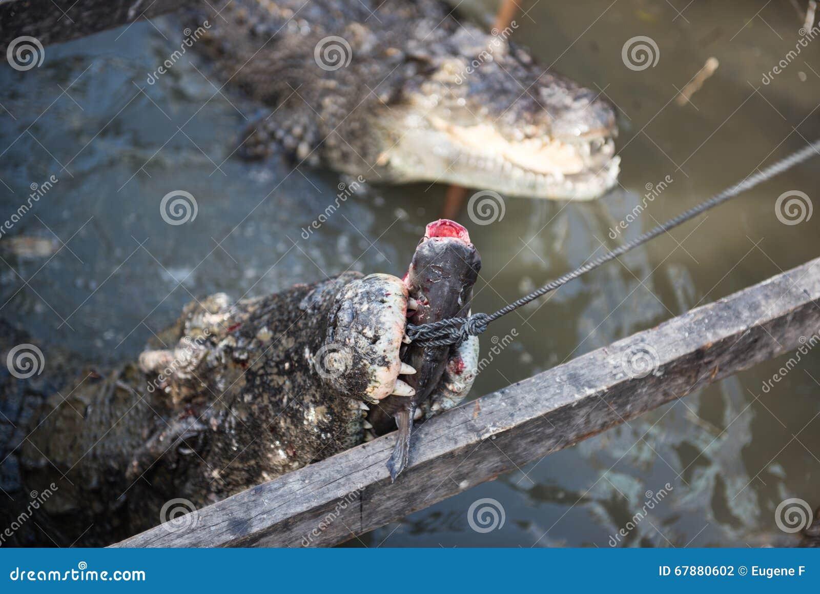 哺养在鱼的鳄鱼