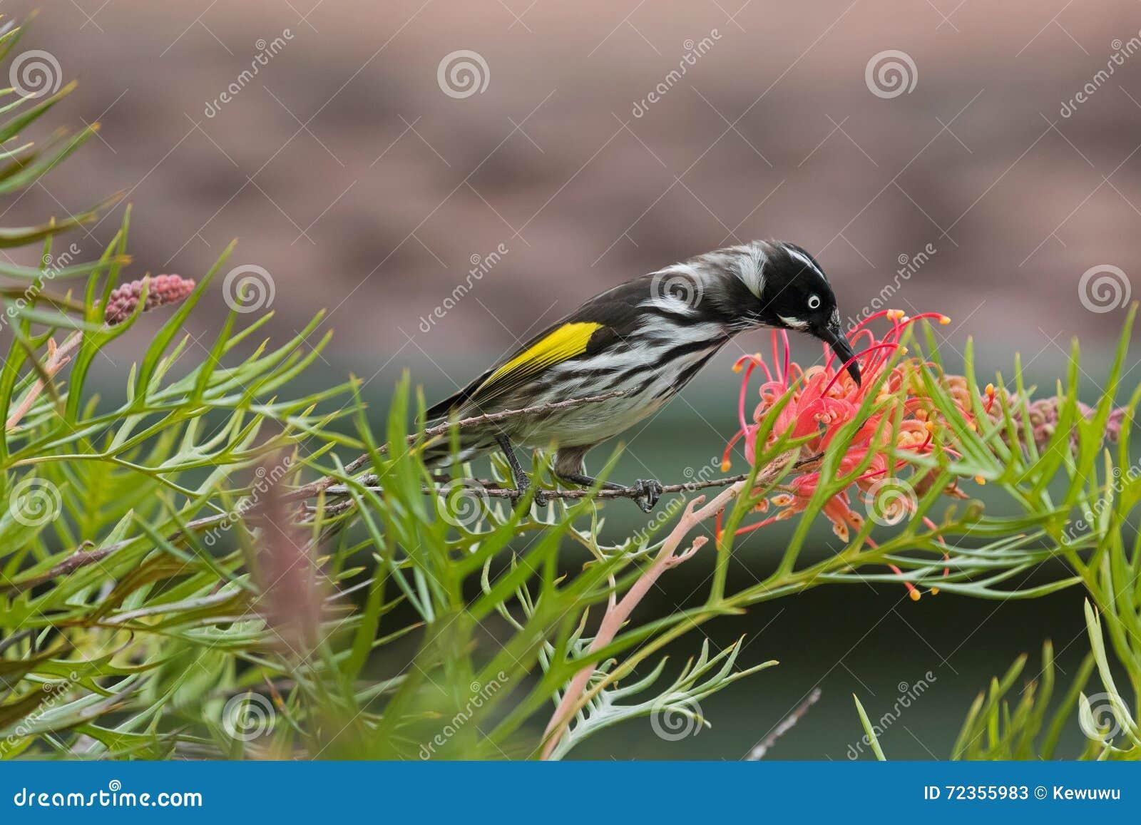 哺养在Grevillea spi分支的新的荷兰Honeyeater鸟