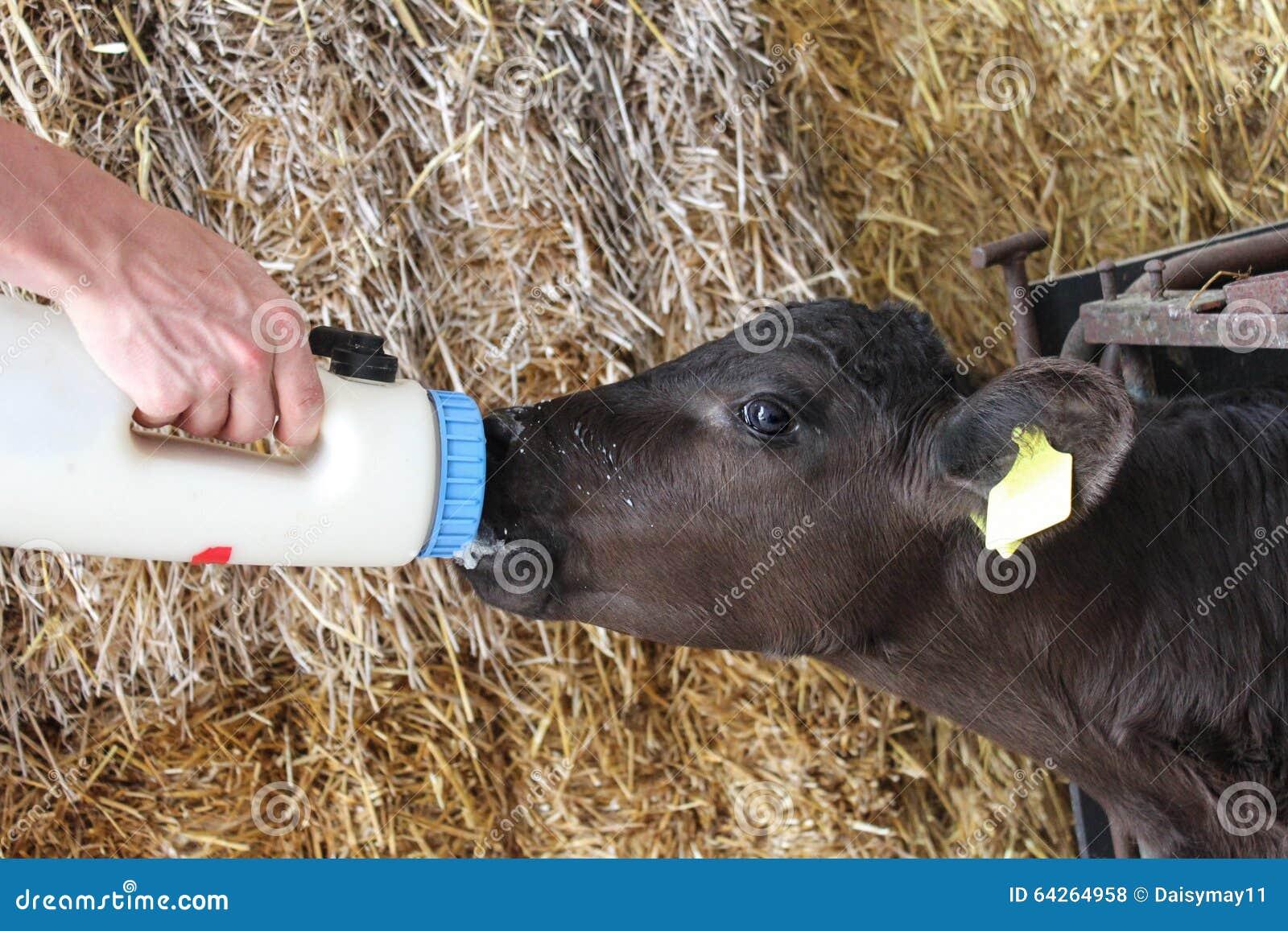 哺养的孤儿小小牛