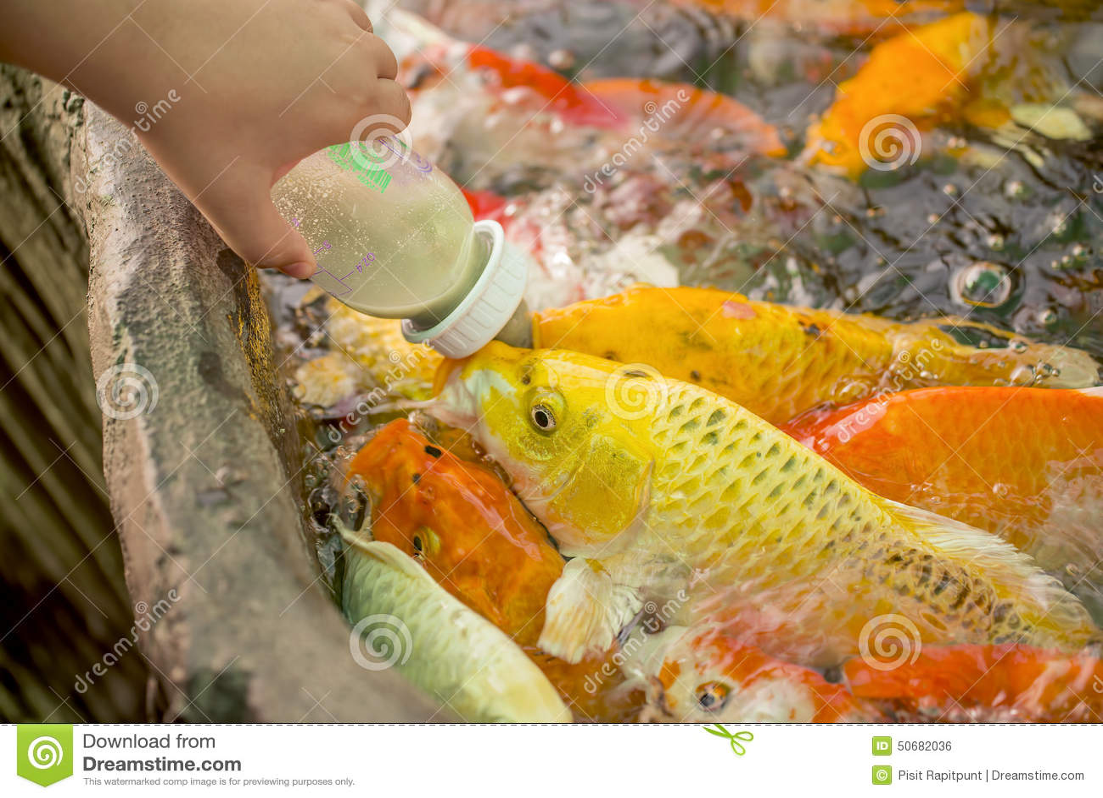 Download 哺养的饥饿的花梢鲤鱼在水池钓鱼 库存照片. 图片 包括有 五颜六色, 橙色, 许多, 生活, 提供, 的treadled - 50682036