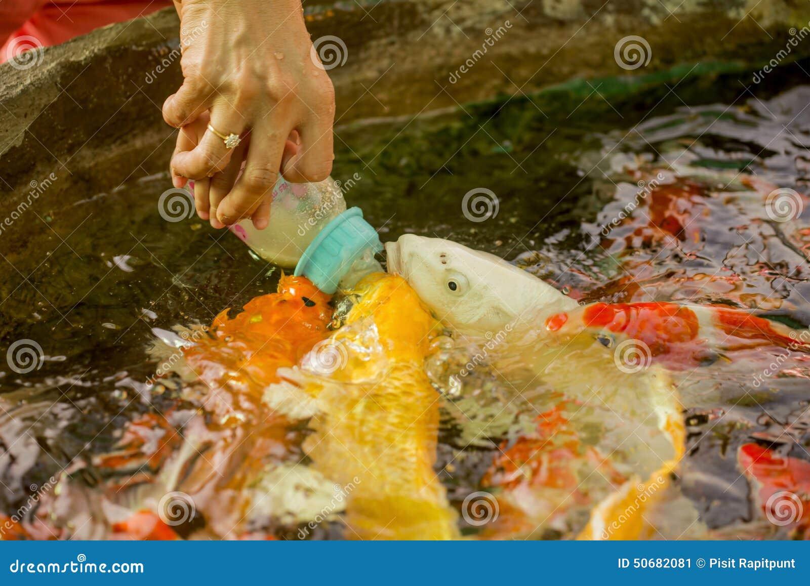 Download 哺养的饥饿的花梢鲤鱼在水池钓鱼 库存图片. 图片 包括有 橙色, 日本, 岩石, 室外, 阳光, 聚会所 - 50682081