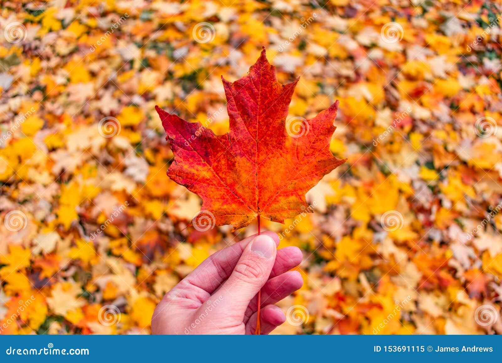 唯一枫叶举行在堆五颜六色的叶子在秋天期间