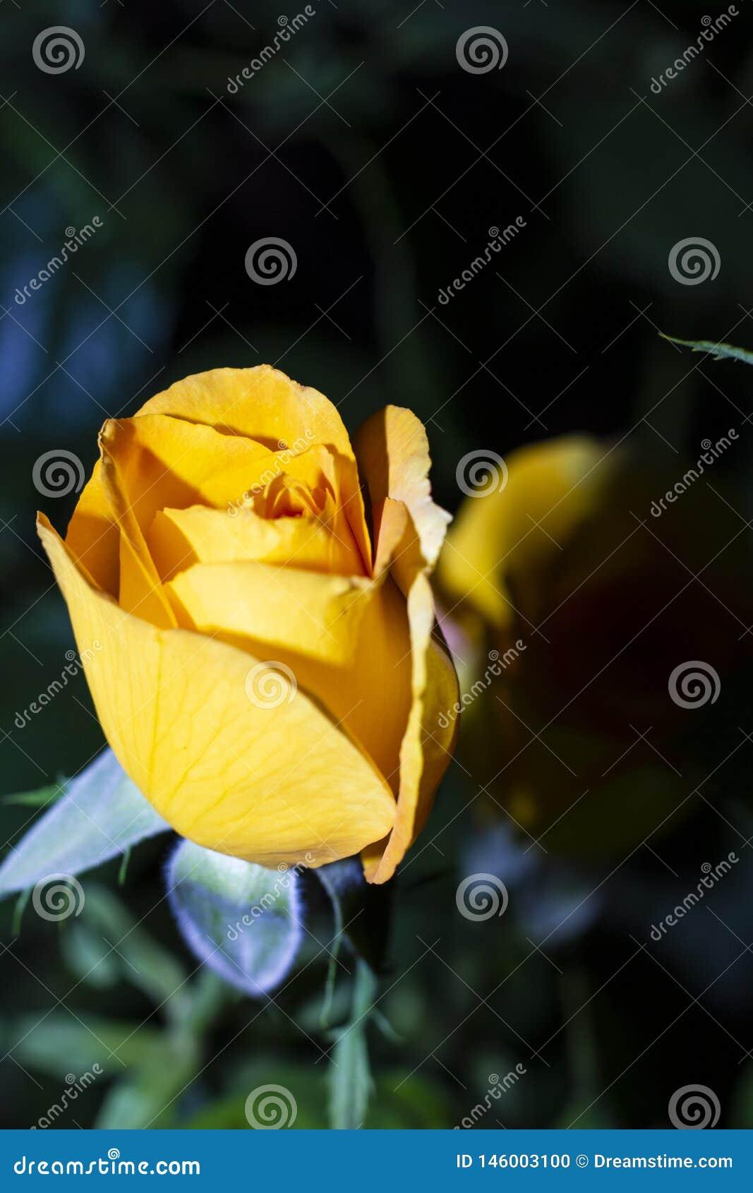 唯一黄色玫瑰