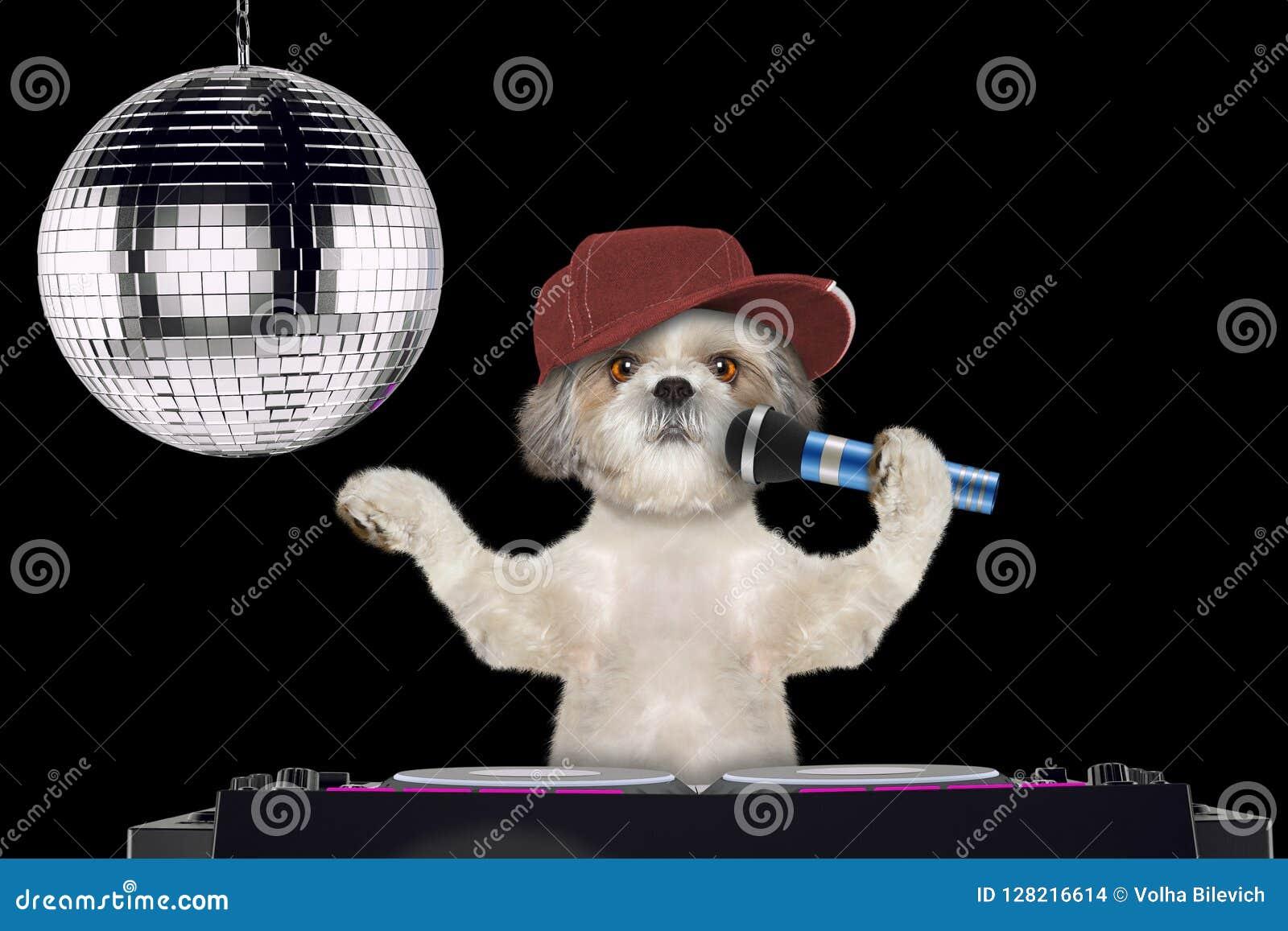 唱与话筒在夜总会的Shitzu狗一首卡拉OK演唱歌曲--隔绝在黑色