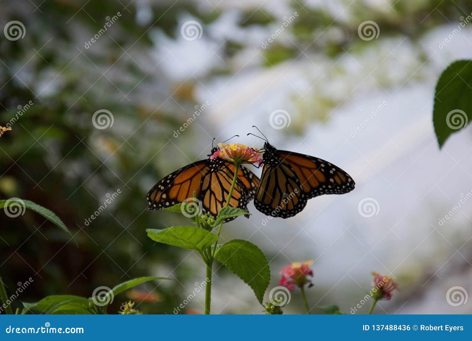 啜饮从一朵小花的一个对桔子,黑和黄色蝴蝶