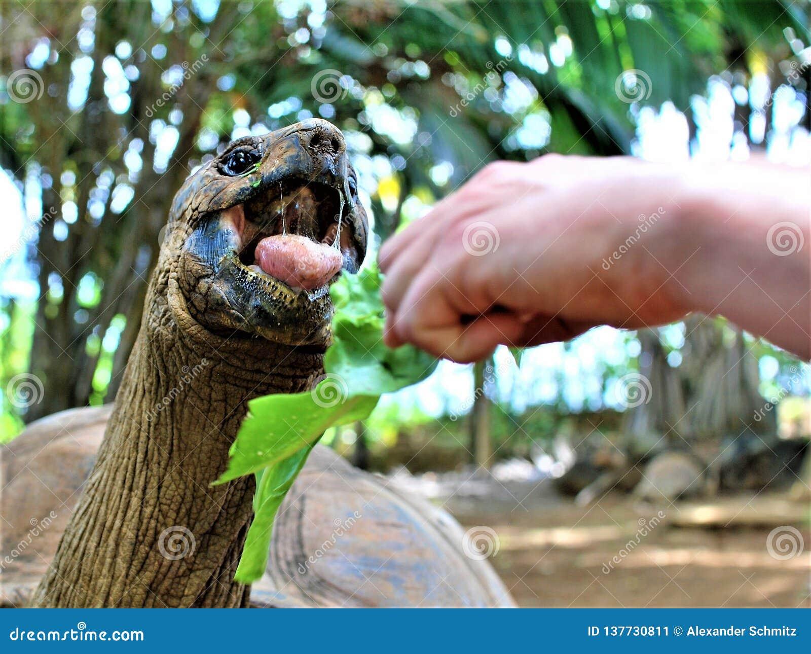 喂养一只乌龟在香草在毛里求斯海岛上的自然公园