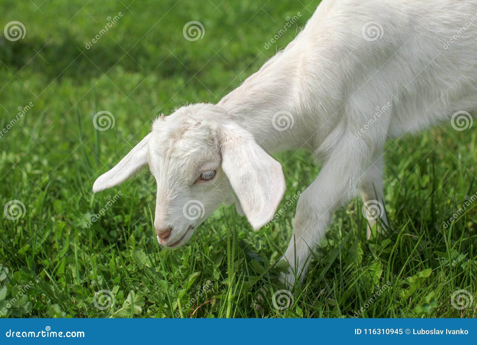 喂养在与春天草甸的一棵草我的年轻山羊孩子细节