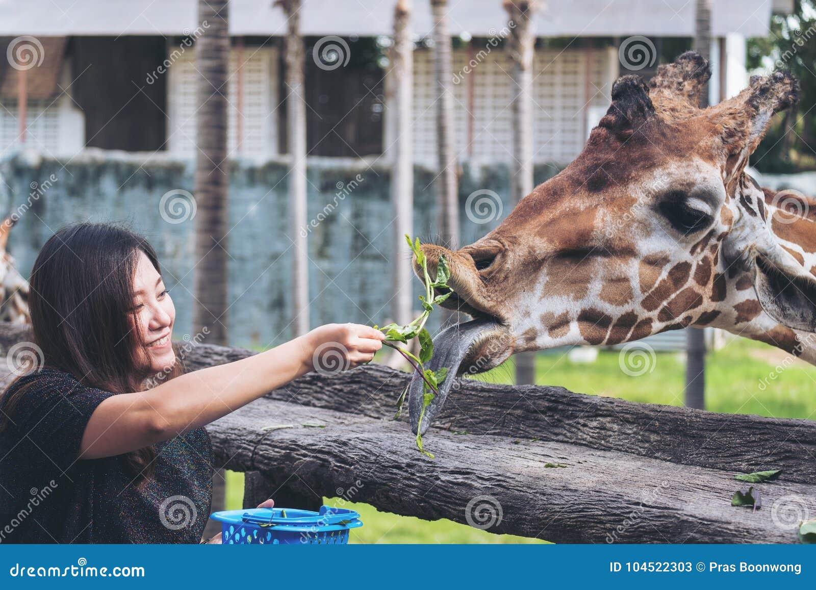 喂养新鲜蔬菜的一名亚裔妇女对小长颈鹿