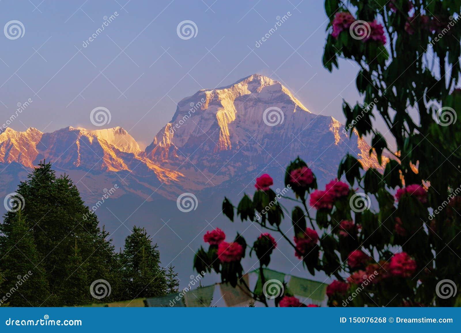 喜马拉雅山和花