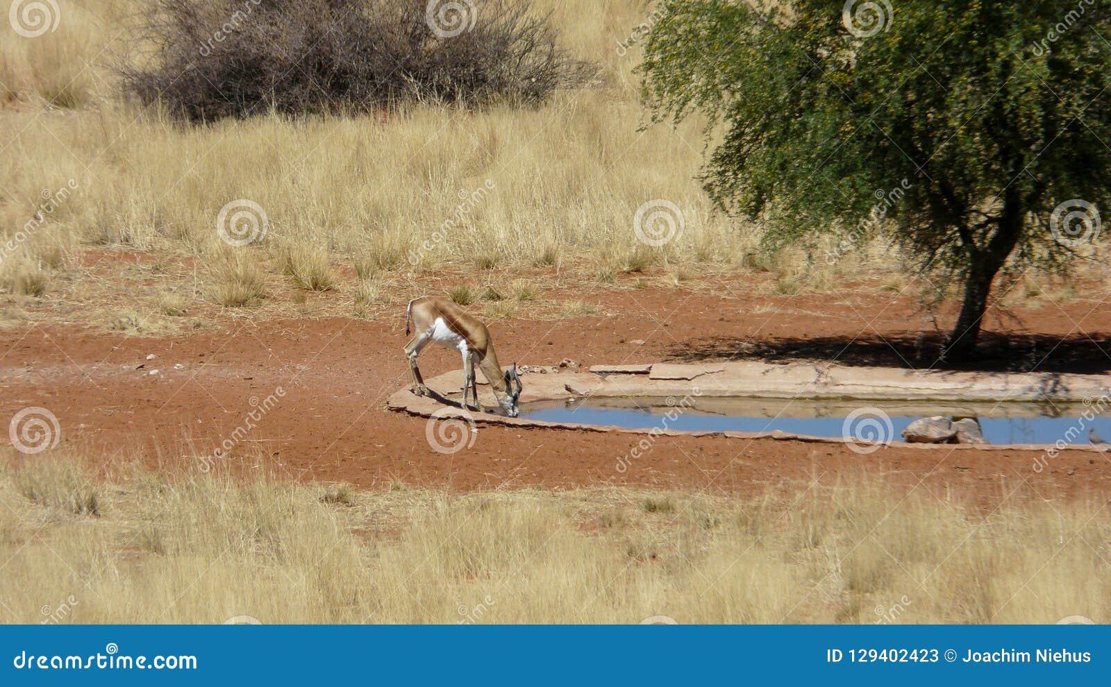 喝在一waterhole的跳羚在纳米比亚