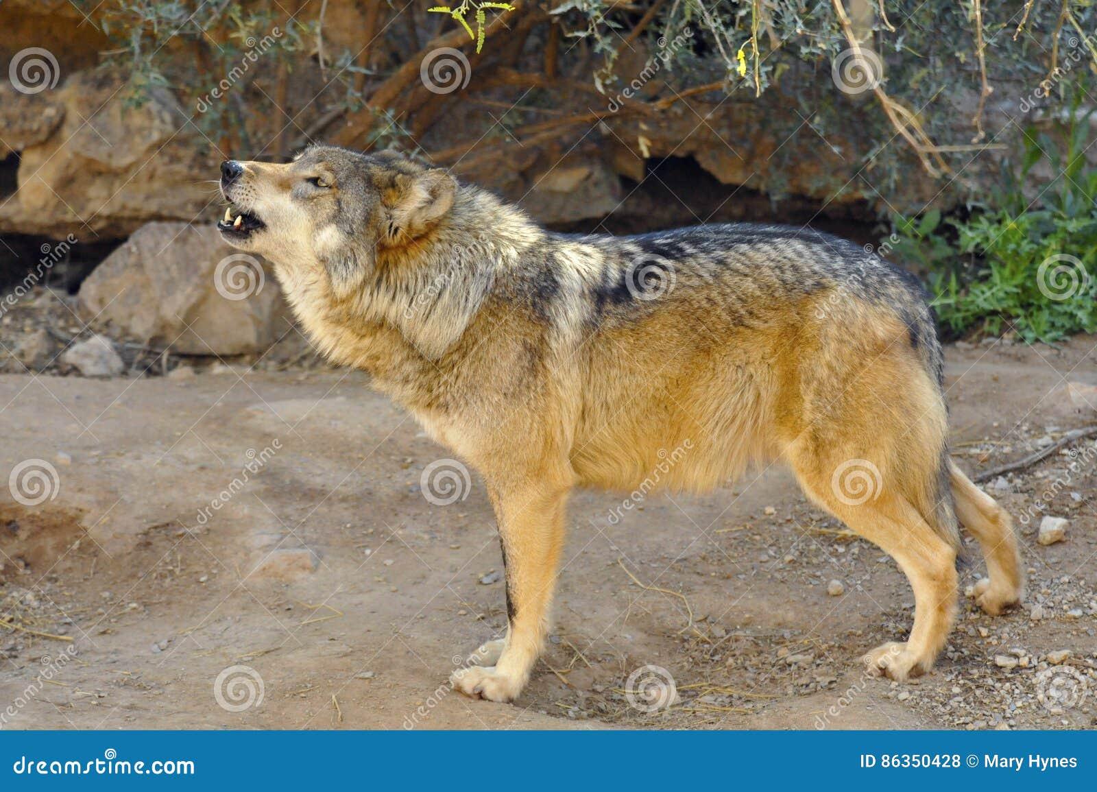 嗥叫墨西哥的狼