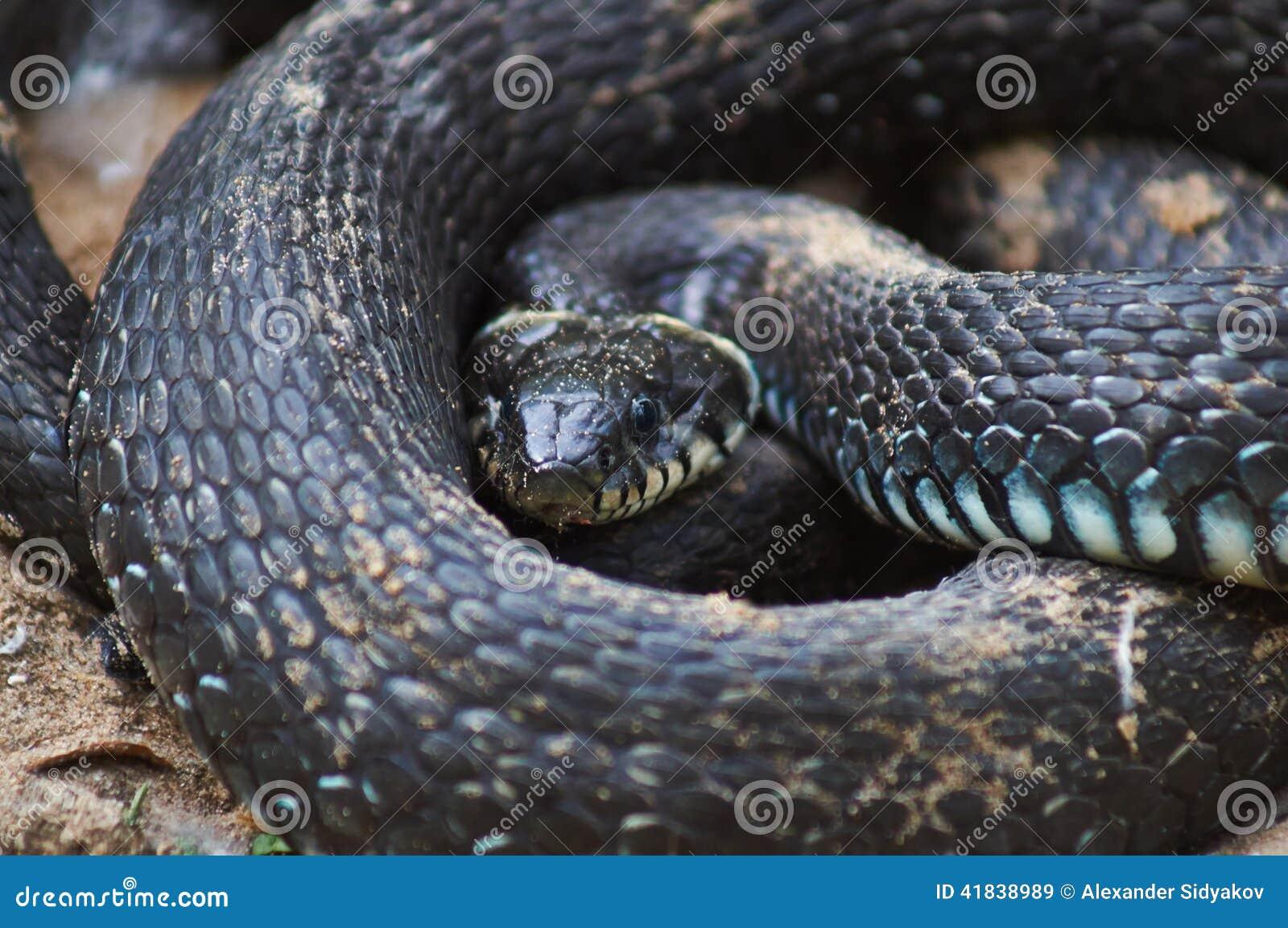 噢-无毒性的蛇,而且发出嘘声并且咬住.