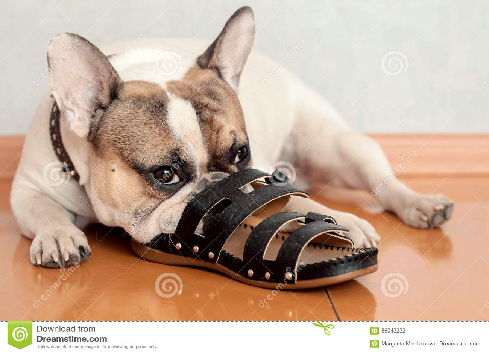 嚼在拖鞋的牛头犬