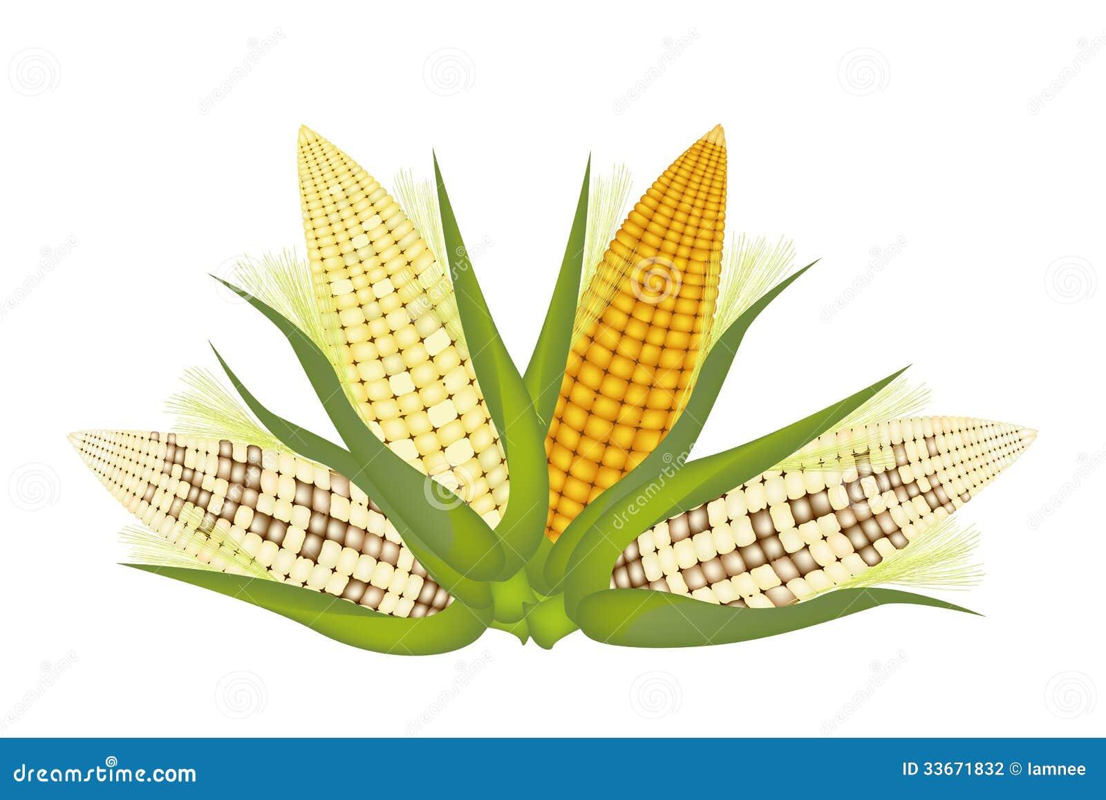 四个玉米穗与果壳和丝绸的图片