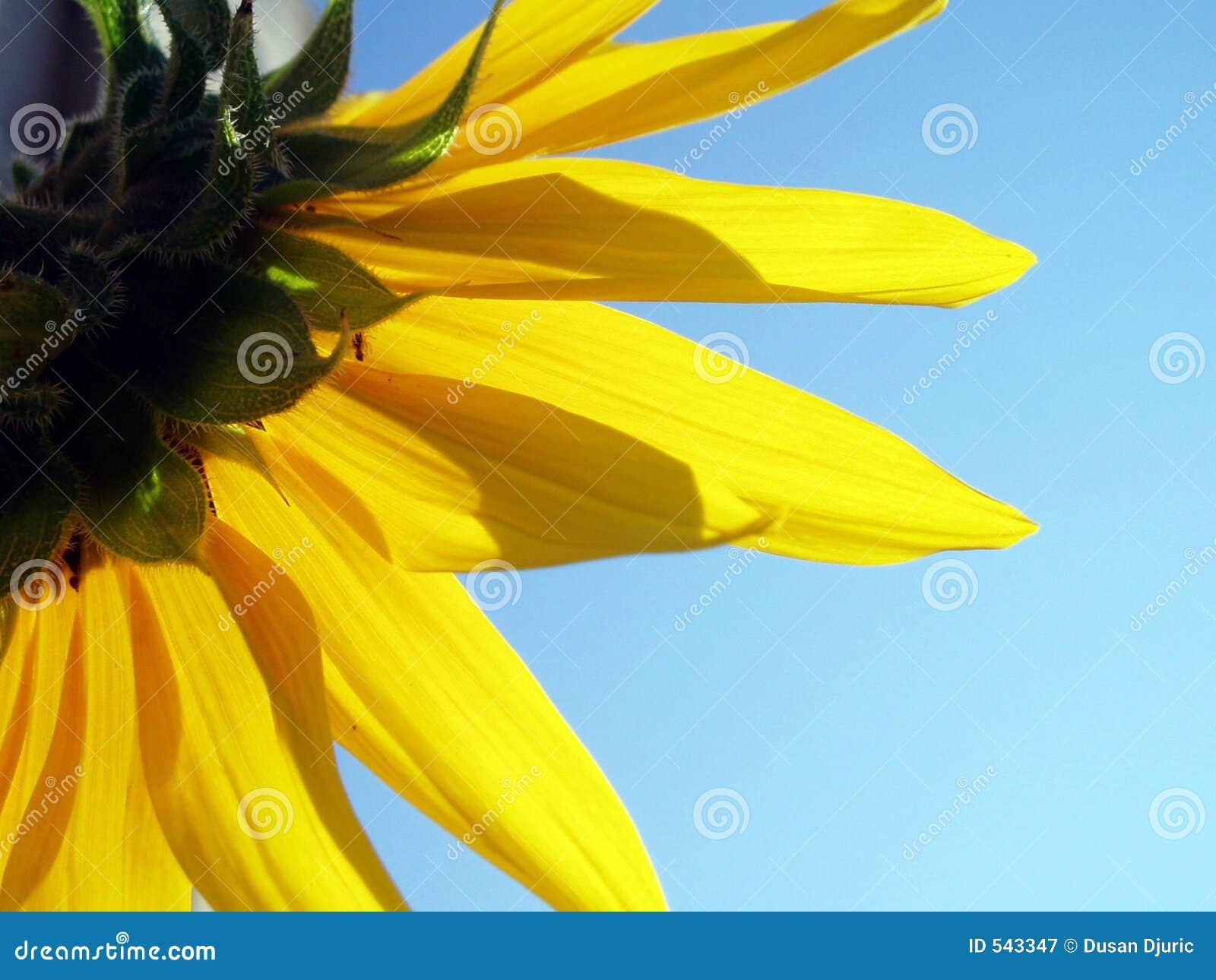 Download 回到向日葵 库存图片. 图片 包括有 工厂, belia, 塞尔维亚, 绿色, 草甸, 关闭, 天空, 庭院 - 543347