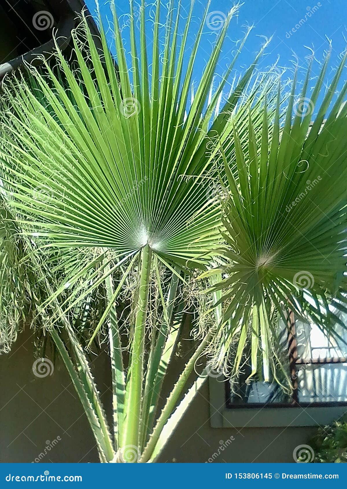 困厄的扇形棕榈树