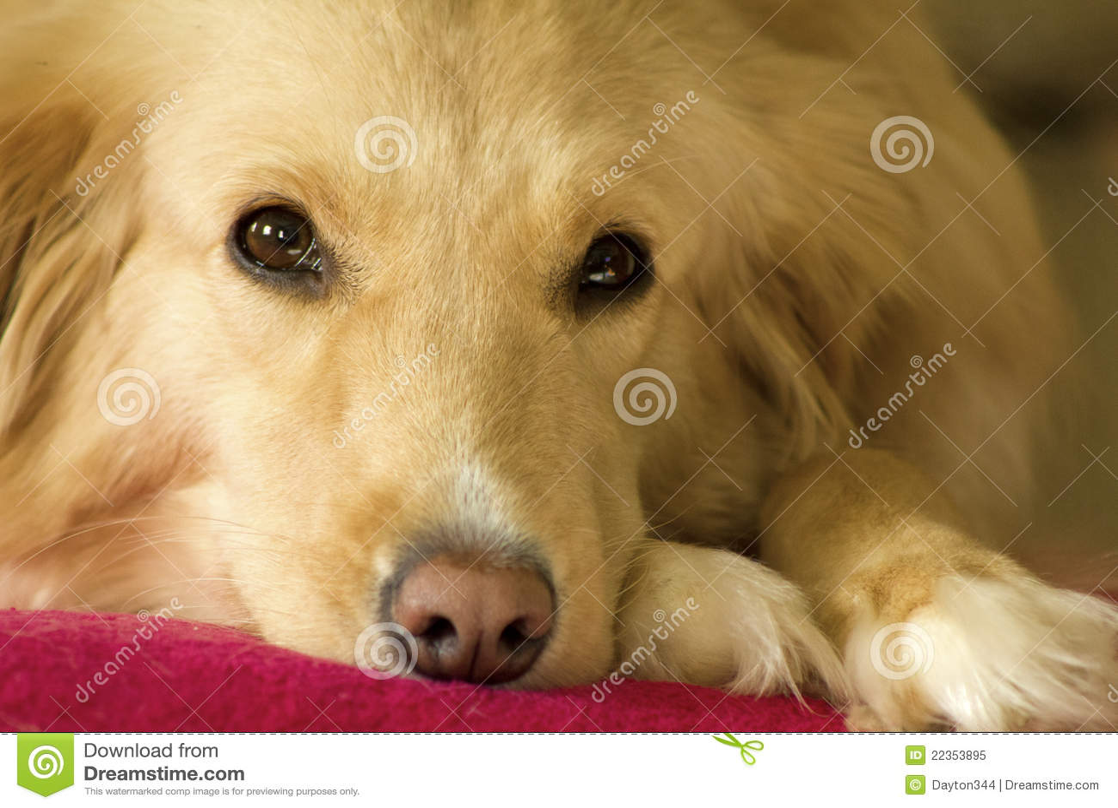 困的金毛猎犬