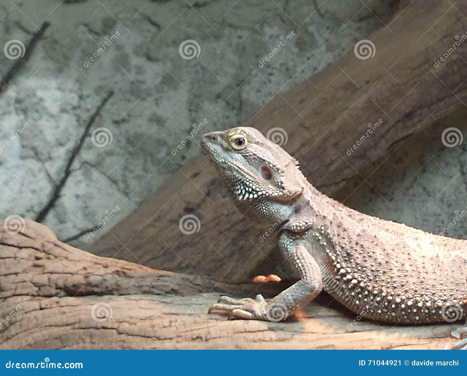 固定的鬣鳞蜥