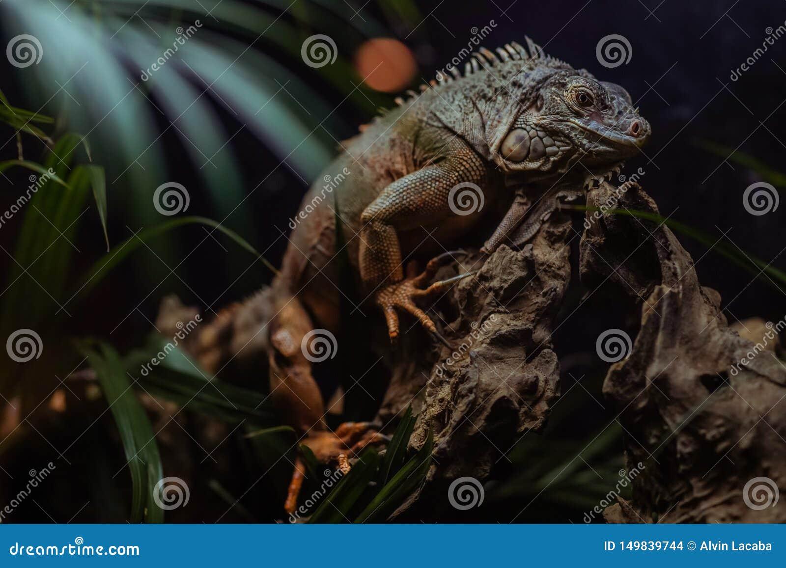 国王Iguana