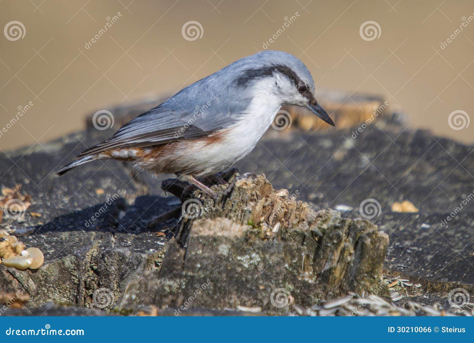 欧亚五子雀,五子雀类europaea