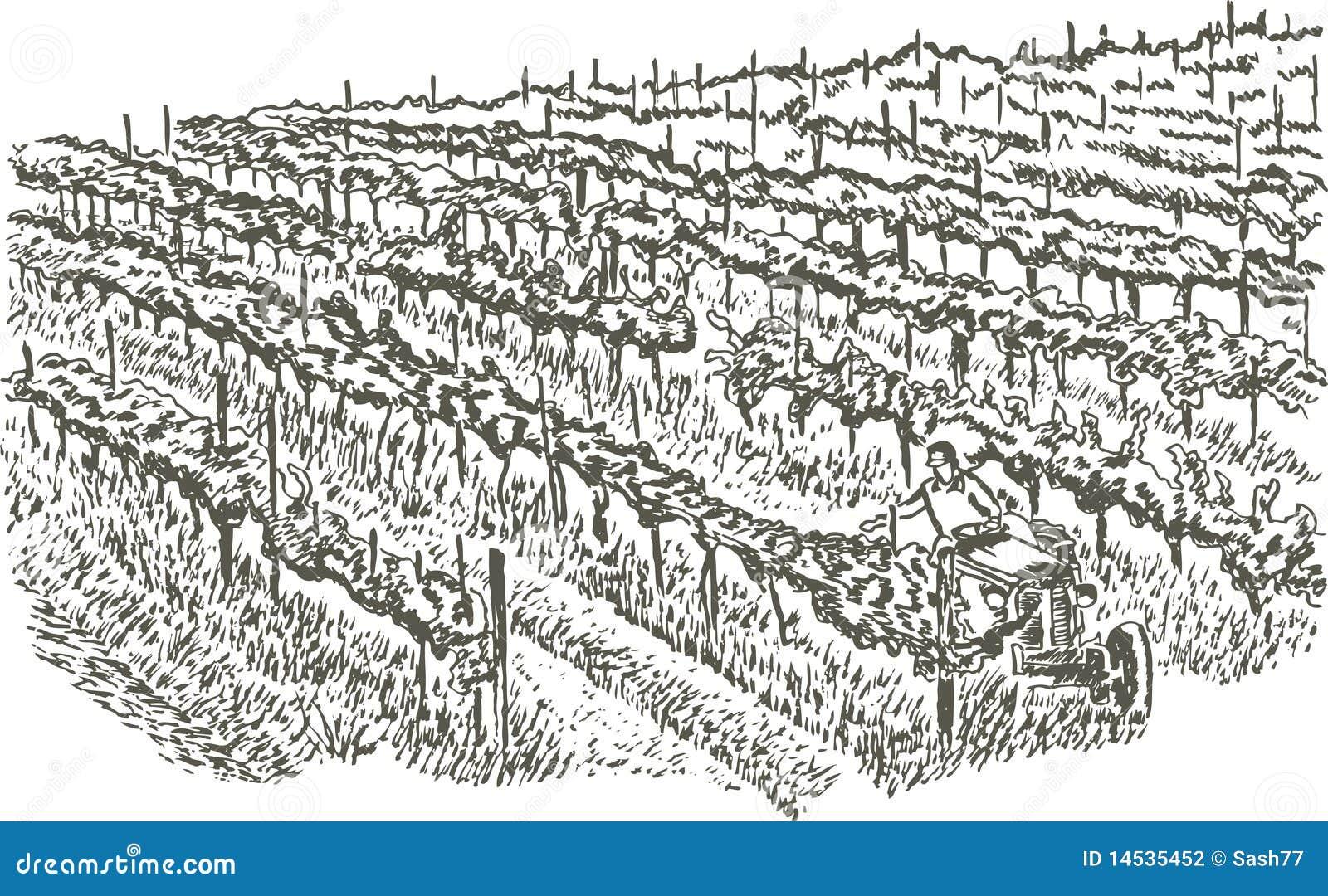 图画现有量葡萄园