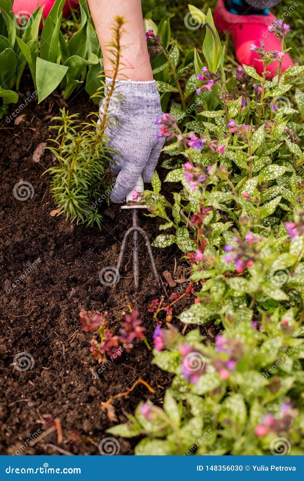 土壤的处理和关心在庭院里 花匠在绿色灌木,幼木附近耕土地