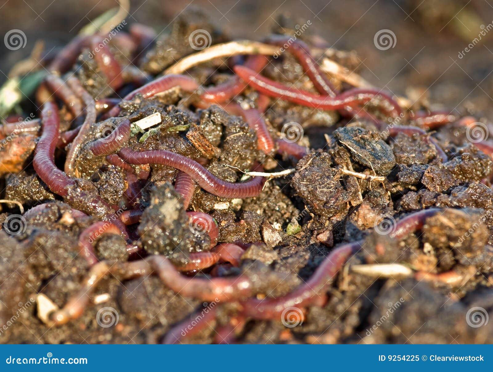 食人蠕虫_土庭院蠕虫